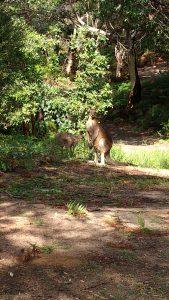 オーストラリアの野生のカンガルー